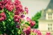 Изкуството да отглеждаш рози